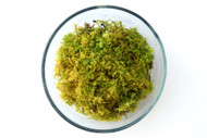Delicate Fern Moss (Thuidium delicatum)