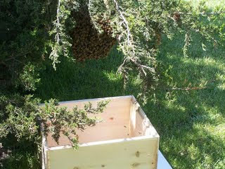 catching a swarm of bees