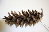 White Pine Natural Cones