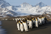 King Penguin Image Clean-up Tutorial Video
