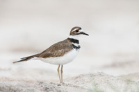 Killdeer ISO 6400 Video