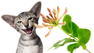 Honeysuckle affects some cats the same way catnip does!