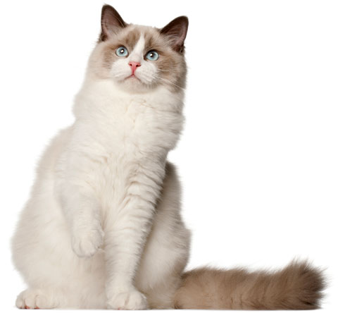 Ragdoll cats need tall, sturdy scratching posts.