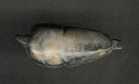 Zuni Mole Fetish Frederick Weekoty