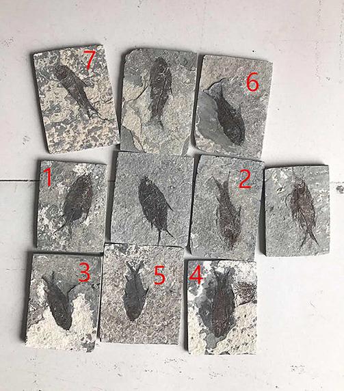 Kitchen Backsplash Tile with Fish Fossils