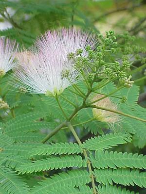 Albizia Julibrissin - Persian Silk Tree Bark Extract
