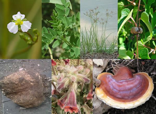 Kidney Well II Herbs