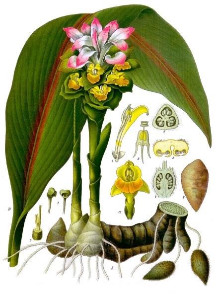 Zedoary Dietary Chinese Herb