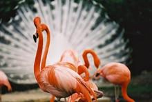 """""""Flamingos in Florida"""" Photographic Quality Dye Sublimation on Aluminum"""