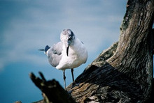 """""""A Seagull's Blue Day"""" Photo Quality 8"""" x 12"""" High Gloss Aluminum Picture Panel"""