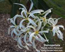 P. Stenopetala Plumeria