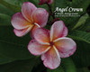 Angel Crown Plumeria