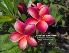 Guadalupe Fernandez Plumeria