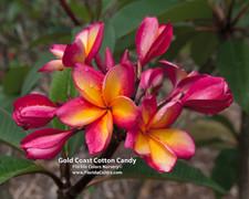 Gold Coast Cotton Candy Plumeria