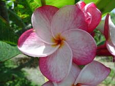 Speckletacular Plumeria