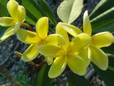 Inca Gold Plumeria