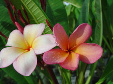 Orange Punch Plumeria