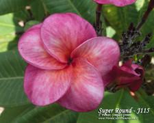 Super Round aka J115, Sangwan Tabtim Plumeria