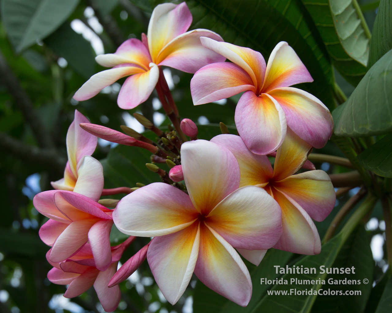 description tahiti tropical flower - photo #20