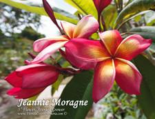 Jeannie Moragne Plumeria