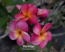 Marengo Plumeria