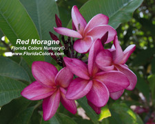 Red Moragne aka Moragne 93 Plumeria