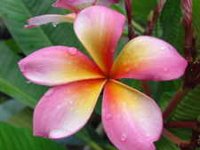 Wishy Washy aka Cooktown Queen Plumeria