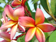 Barbados Show Girl Plumeria