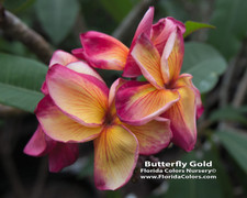 Butterfly Gold Plumeria
