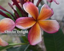Chocko Delight Plumeria