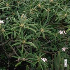 P. alba Plumeria