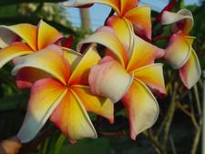 Hawaiian Flag Plumeria