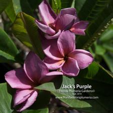 Jack Purple Plumeria