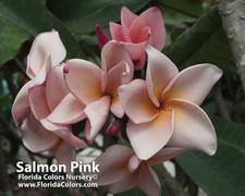Salmon Pink aka 4439 Plumeria