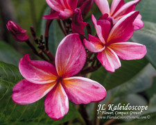JL Kaleidoscope Plumeria