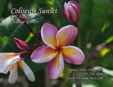 Coliseum Sunset Plumeria