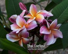 Thai Lurline Plumeria
