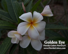 Golden Eye Plumeria