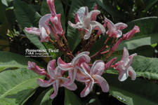 Peppermint Twist Plumeria