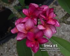 Irma 5 Plumeria