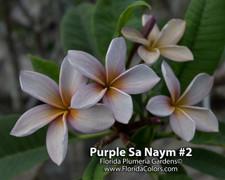 Purple Sa Neym 2 aka Siam Lavender Plumeria