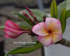 San Diego Sunset Plumeria