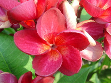 Siam Red Plumeria