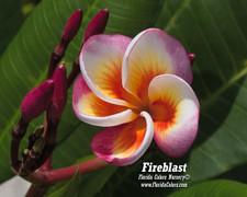 Fireblast Plumeria