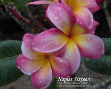 Naples Sixteen Plumeria