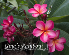 Gina's Rainbow Plumeria