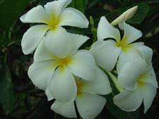 Singapore aka P. obtusa Singapore White Plumeria