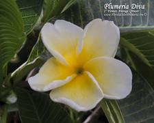 Plumeria Diva