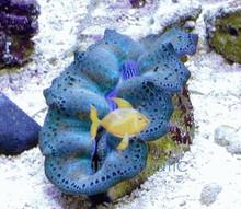 Crocea Clam - Tridacna crocea - Crocea Clam Cultured