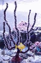 Red Finger Gorgonia - Gorgonia species - Sea Rod - Sea Whip - Sea Blade
